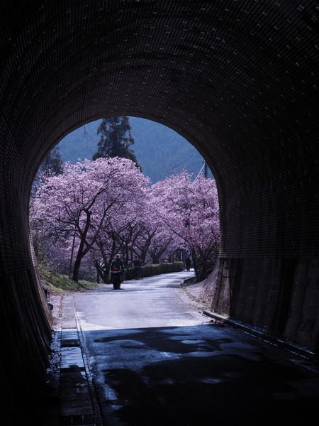 新城市河津桜のトンネル