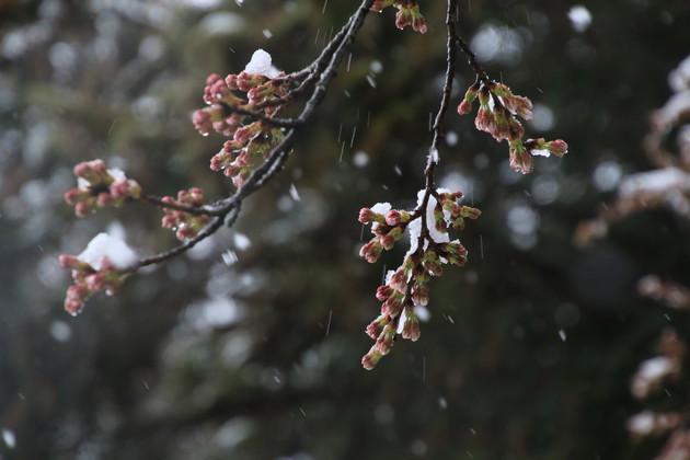 白沢路傍の桜