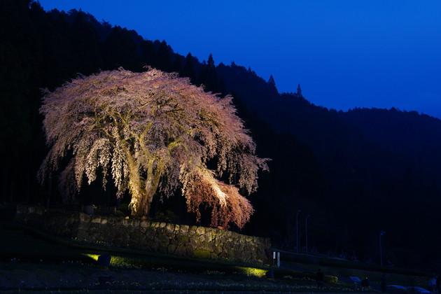 岐阜県加茂郡白川町 水戸野の枝垂れ桜