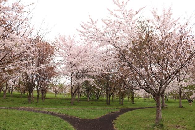 豊平川桜の杜