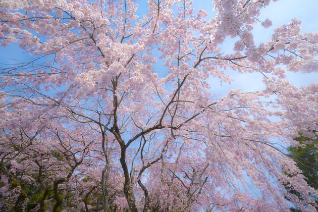 京都醍醐寺のしだれ桜