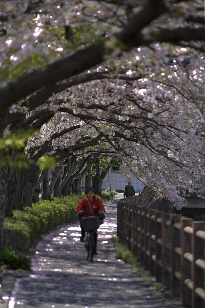 福岡県北九州市八幡西区 金山川桜並木