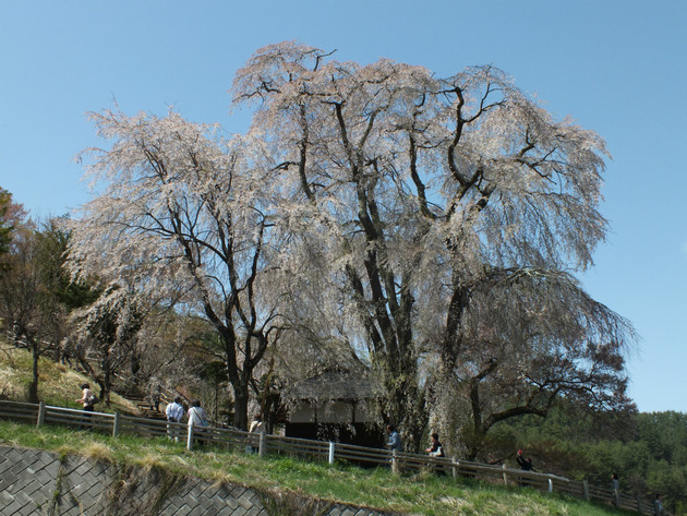勝間薬師堂の枝垂桜