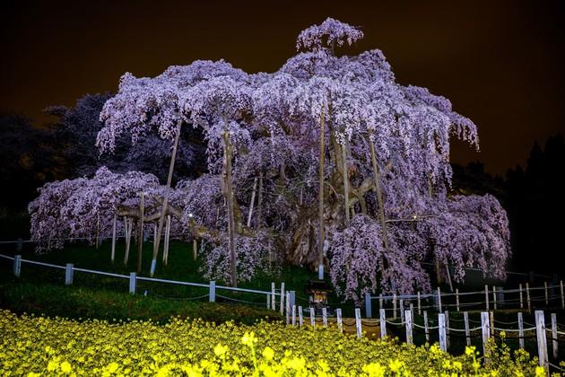 三春滝桜、福島県三春町
