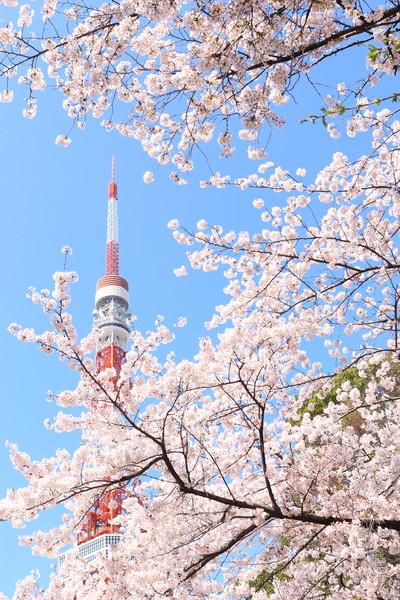 東京タワー下 301号線沿い 桜並木