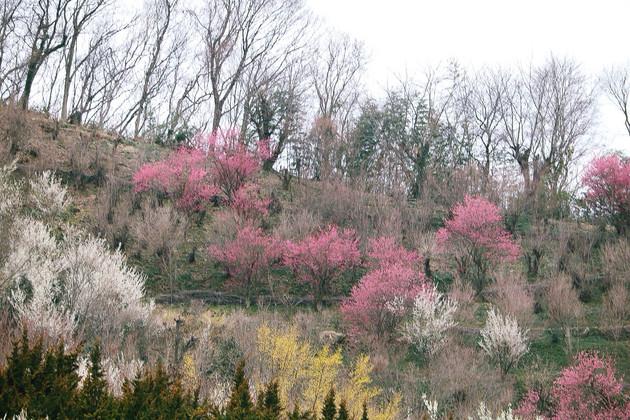 福島県、花見山