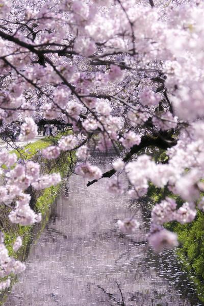 京都市左京区 哲学の道