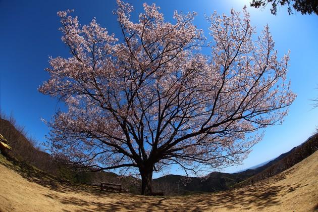 高知県南国市 八京の一本桜