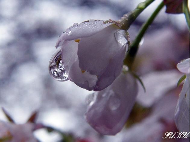 久留米の浅井の一本桜