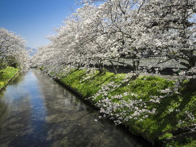 史跡田中城下屋敷桜並木