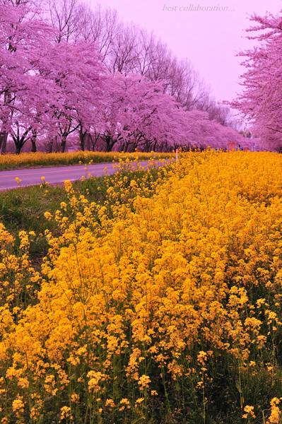 大潟村菜の花ロード