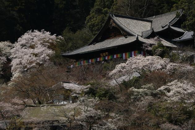 奈良県 長谷寺 本殿 桜