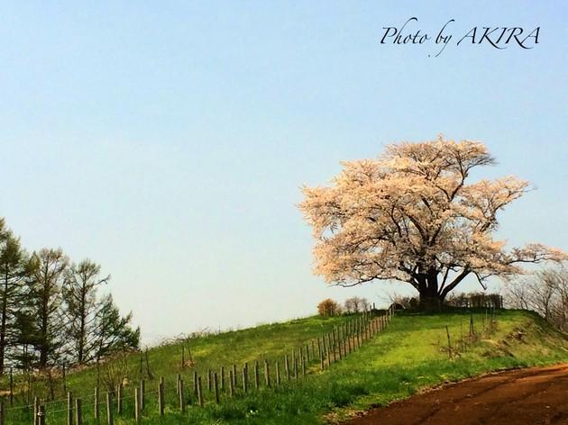 岩手県/八幡平市/為内の一本桜