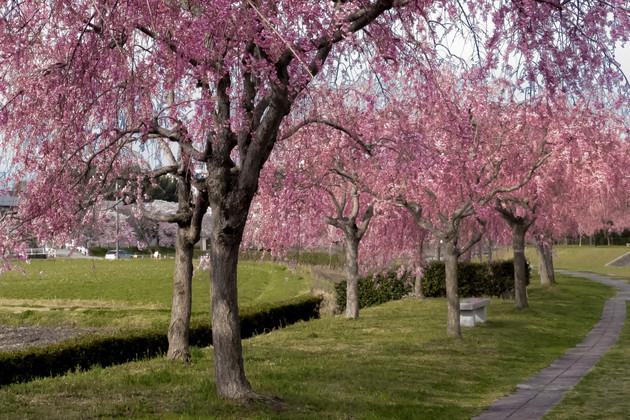 桜堤公園兵庫県加東市