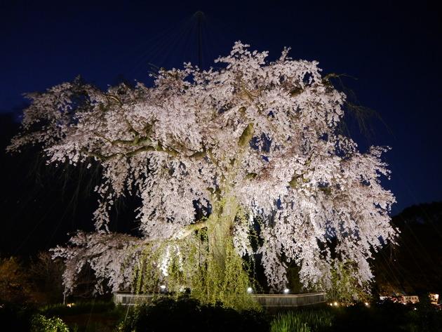 京都祇園 円山公園