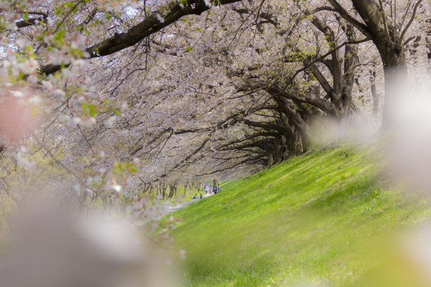 京都 八幡市背割堤の桜
