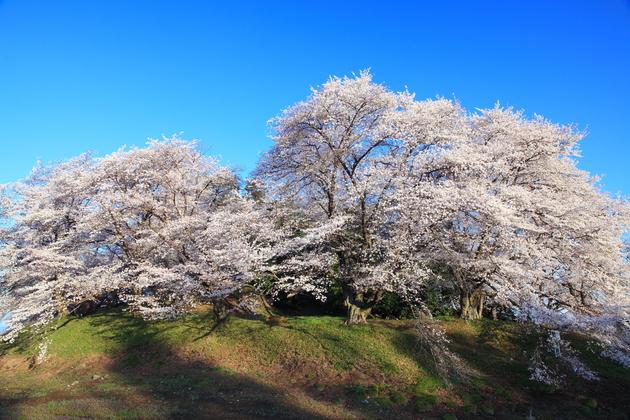 七輿山古墳の桜  藤岡市
