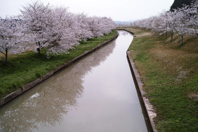 日用川桜並木、石川県七尾市中島町